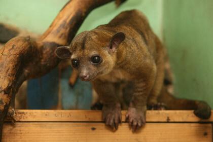 Медовый мишка (Кинкажу) в Иркутске