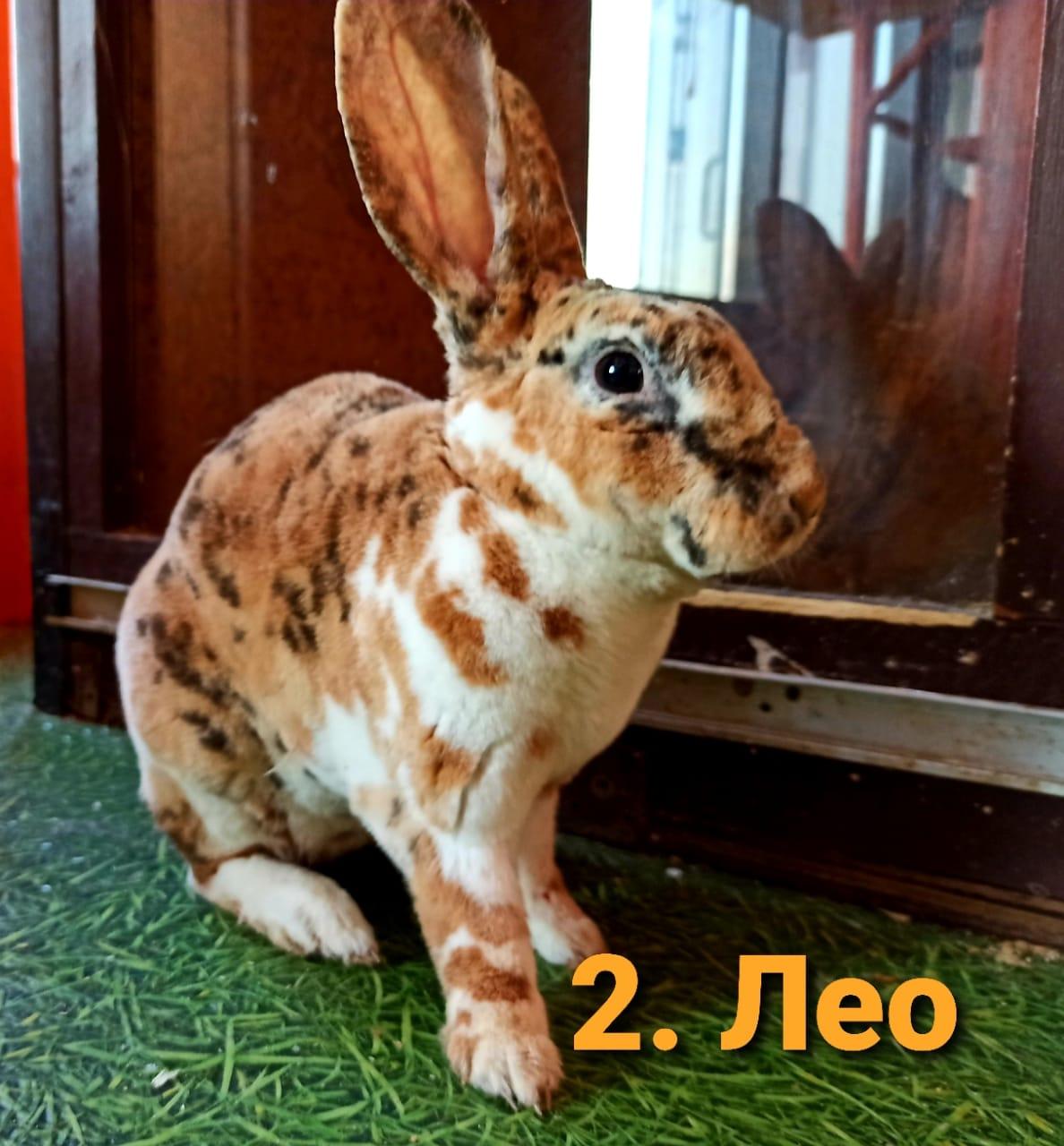 Леопардовая крольчиха Лео английского происхождения
