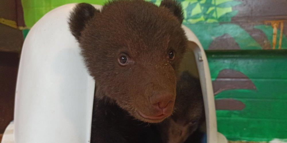 Медвежата в Иркутске в Сибирском зоопарке