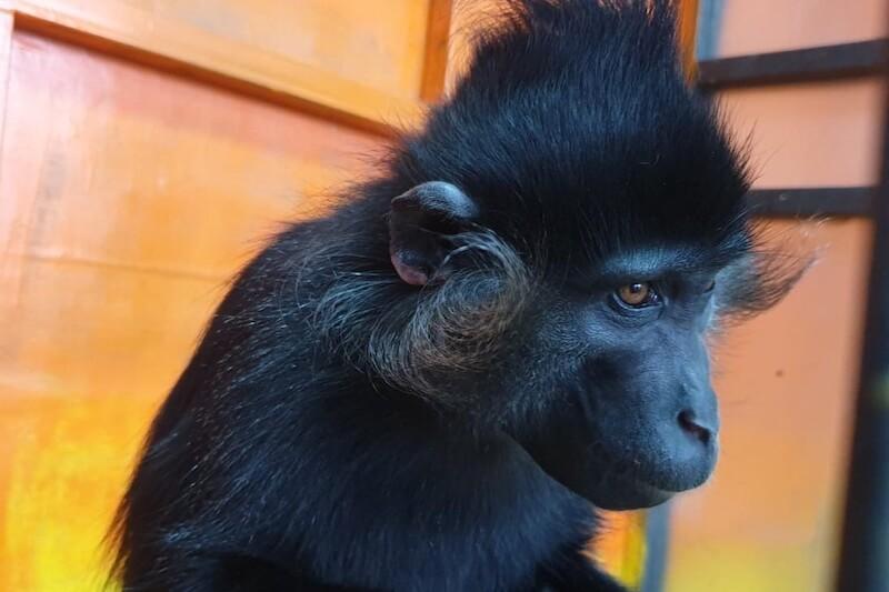 Чёрный мангобей Макс