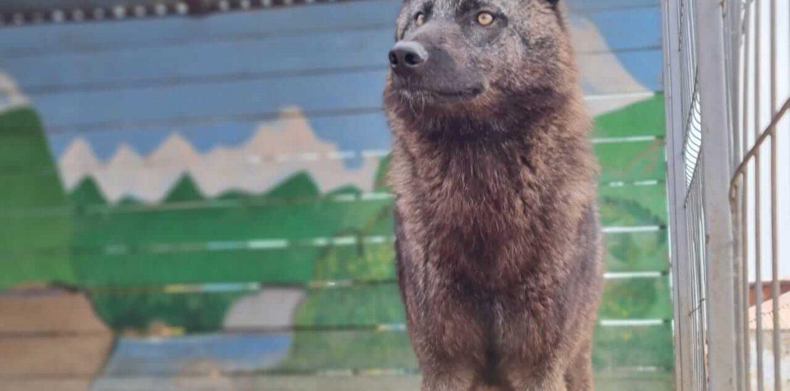 Чёрный канадский волк
